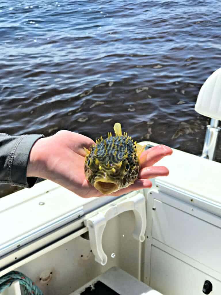 puffer fish in a hand