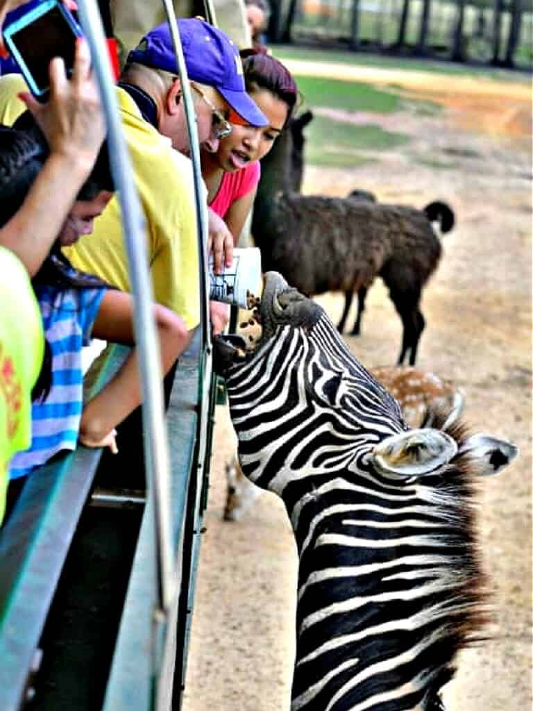Feeding a zebra