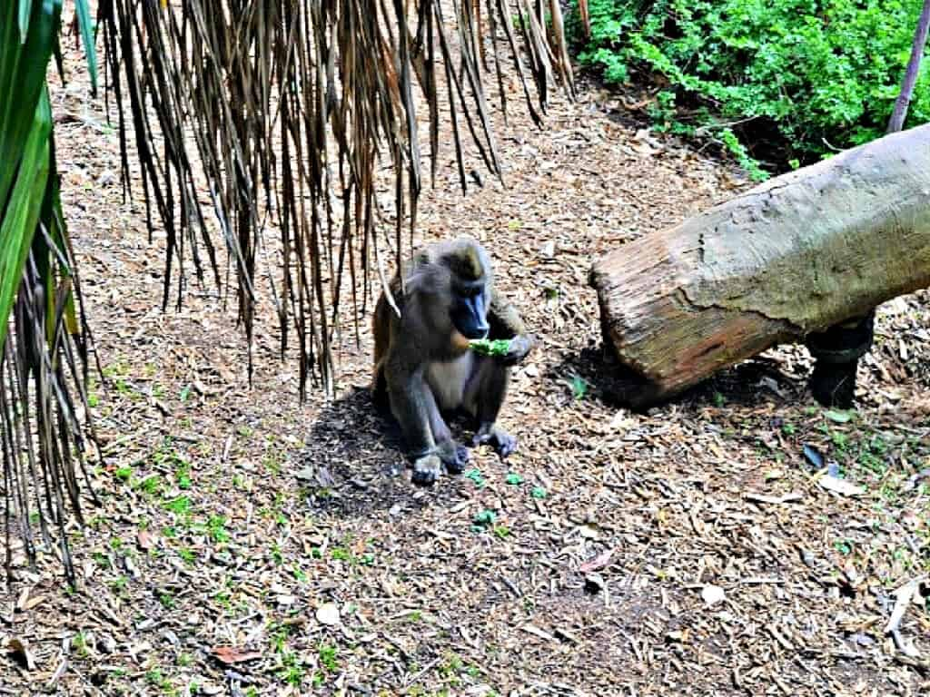 primate eating