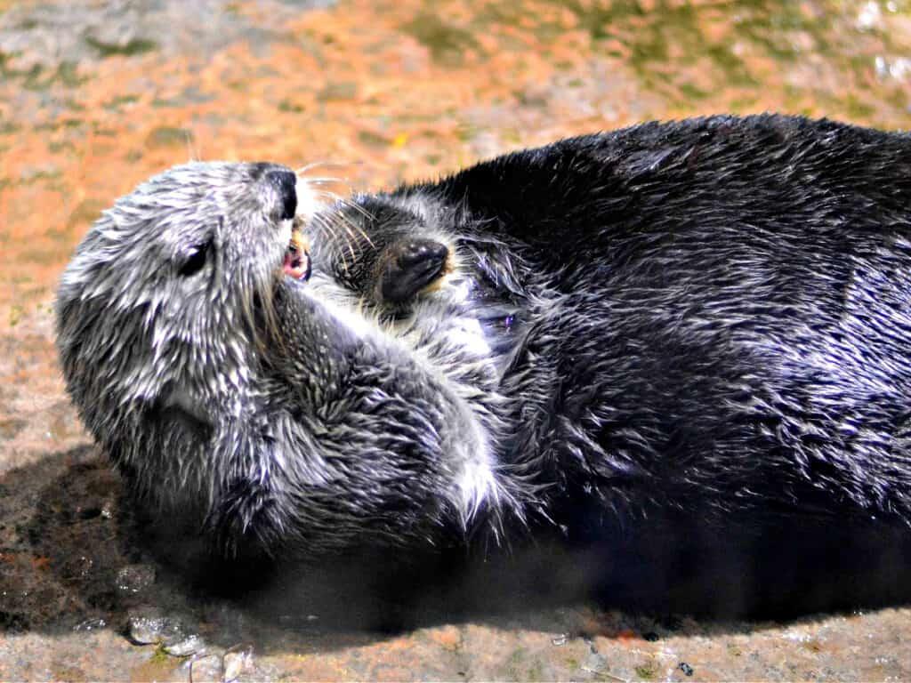 otter eating ice