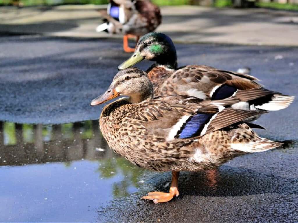 mallard ducks near puddle