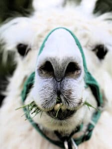 white llama with grass in mouth