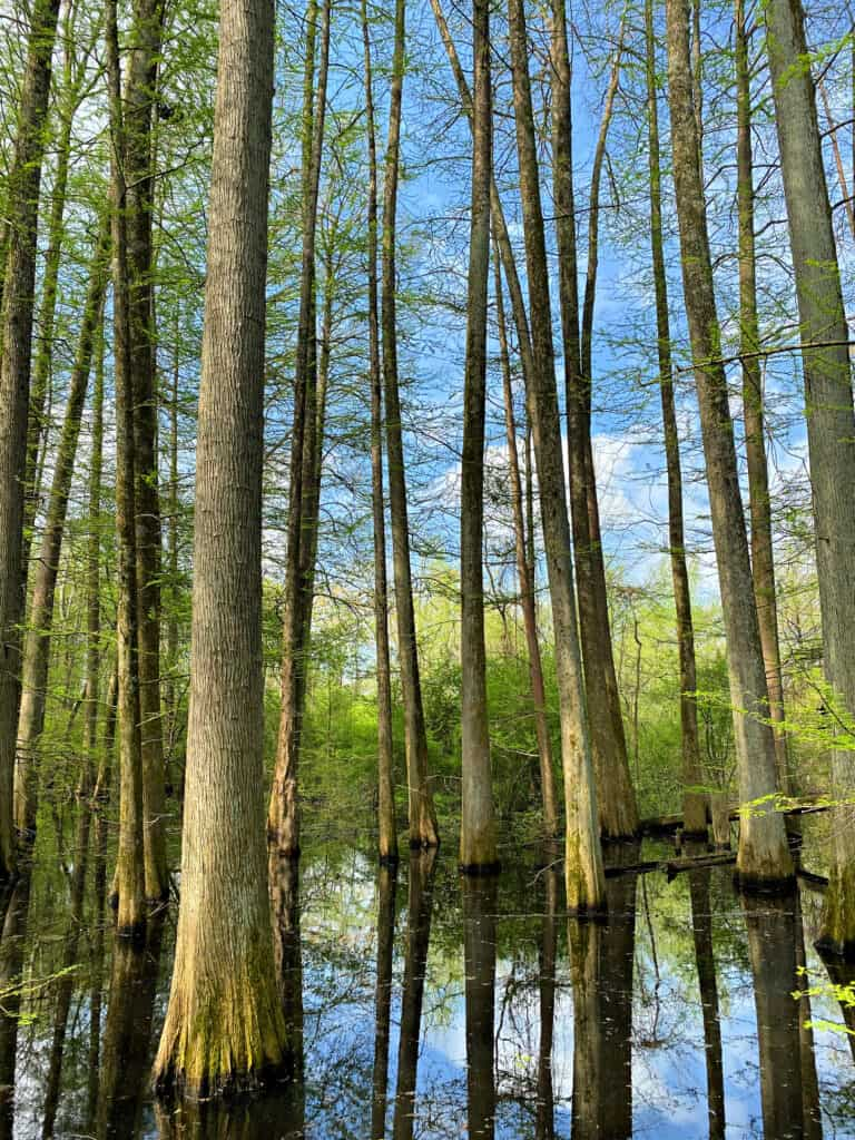 Tall trees in water